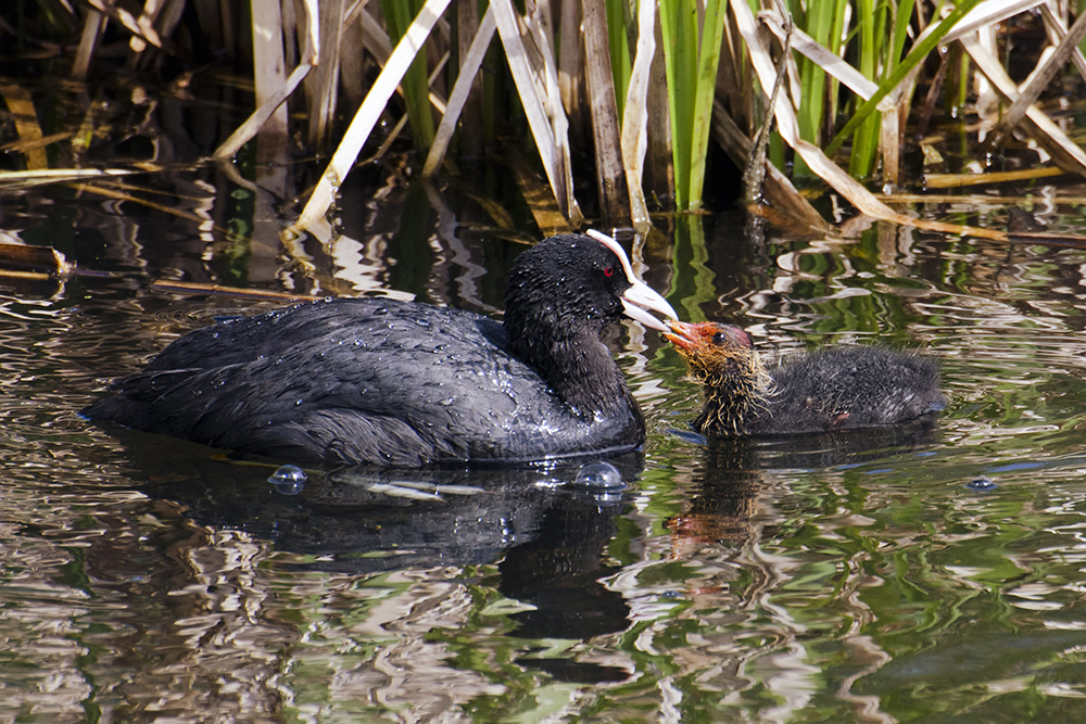 Eurasian Coot with Chick