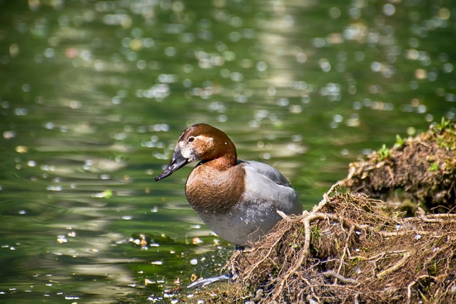 Common Pochard, Female