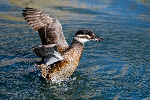 Ruddy Duck, Female