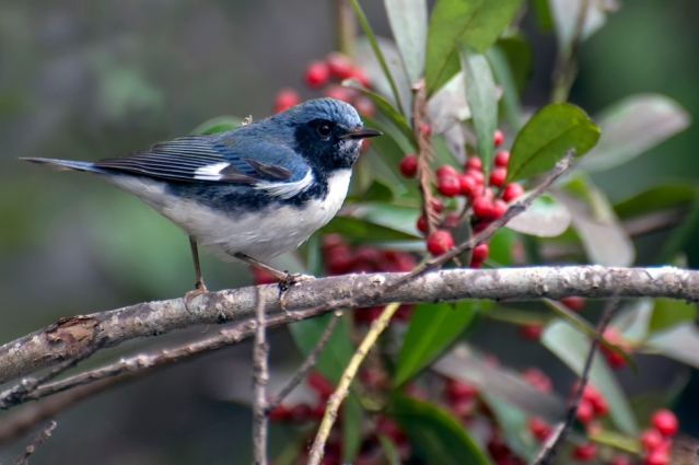 Black-throated Blue Warbler, 1st Year Male