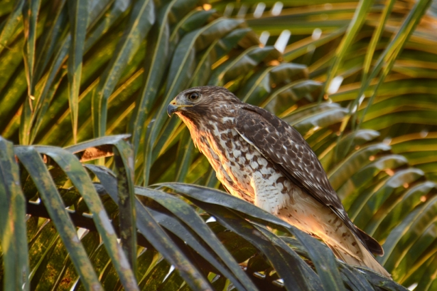 Juvenile Red-shouldered Hawk at Sunrise
