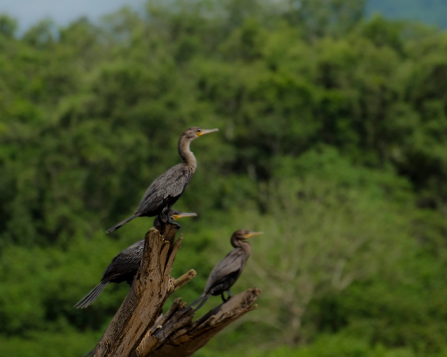 Neotropic Cormorants on the Tarcoles River in Costa Rica