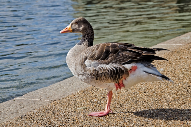 Greylag Goose along the Serpentine.