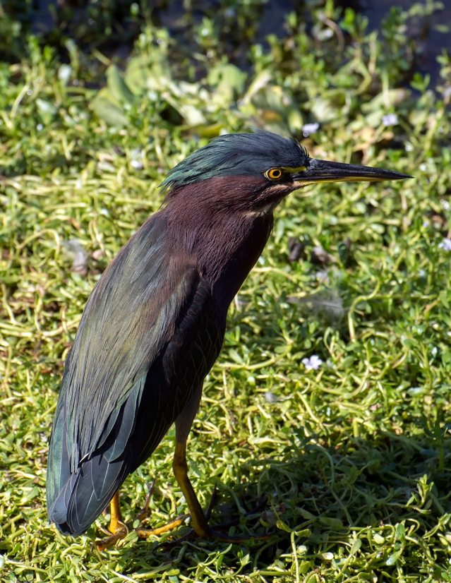 Green Heron, just being cute.