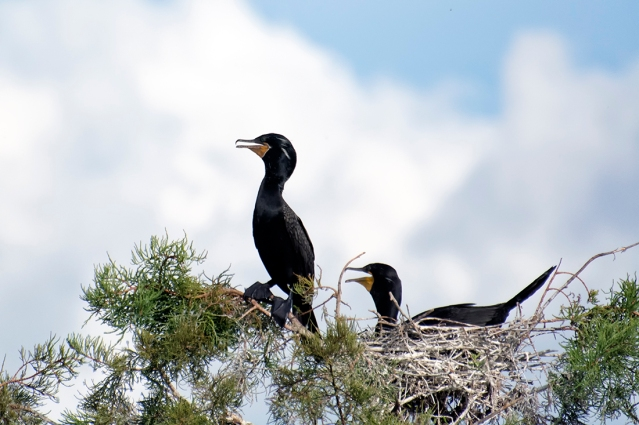Neotropic Cormorant at Wakodahatchee