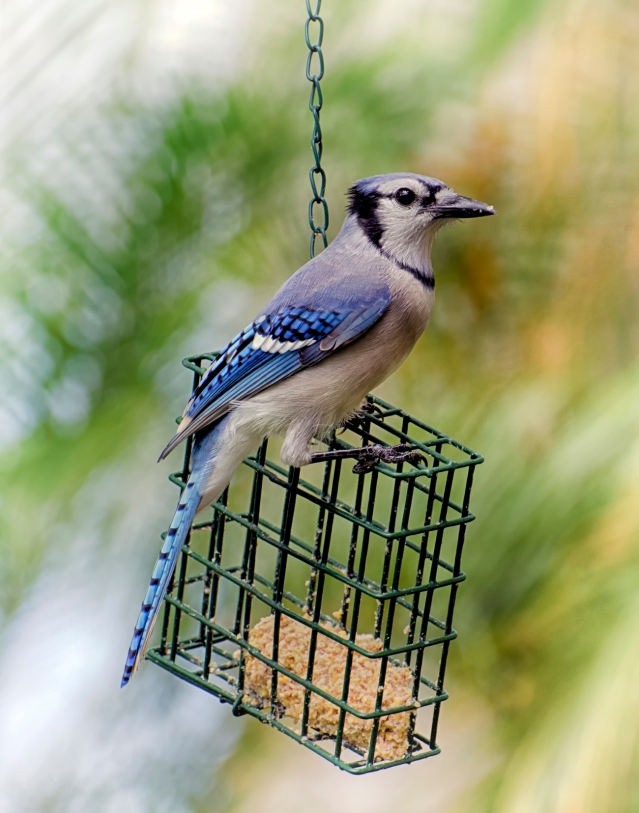 Poppi the Blue Jay