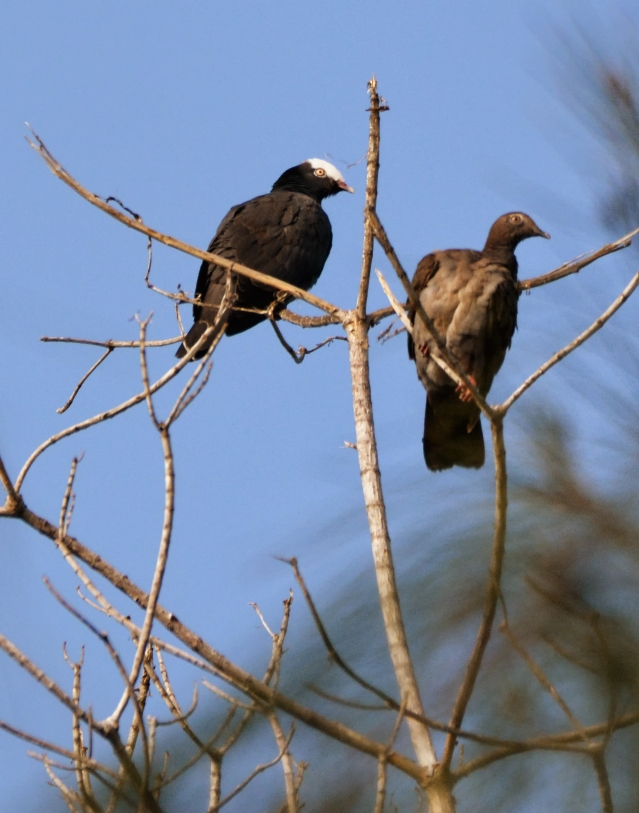 White-crowned Pigeon Pair, #337