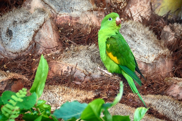 Yellow-chevroned Parakeet, #339