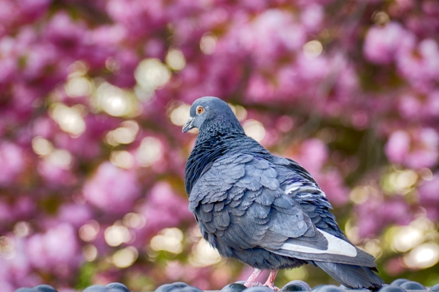 Rock Pigeon in Spring with Cherry Blossom Bokeh