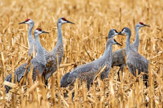 Sandhill Cranes in the cornfields of Nebraska.
