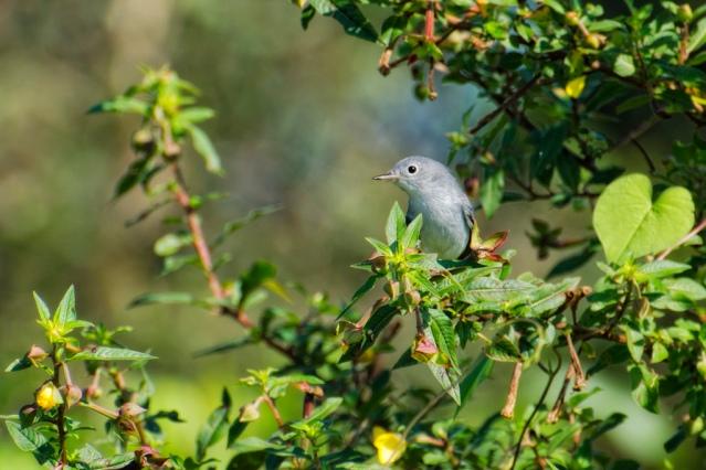 Sweet blue-gray gnatcatcher