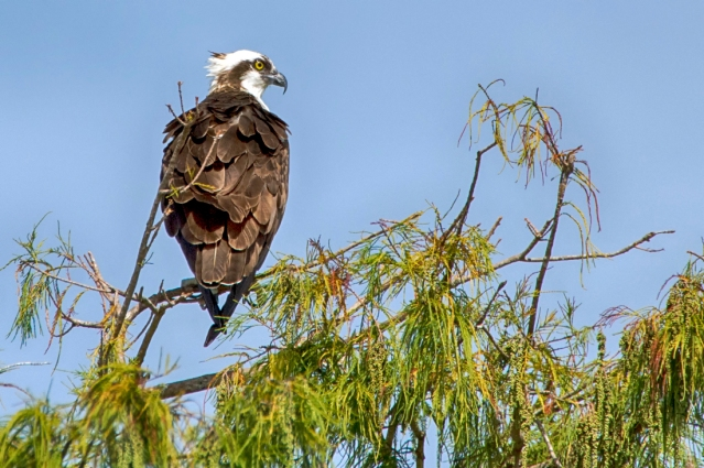 Osprey on his favorite perch.