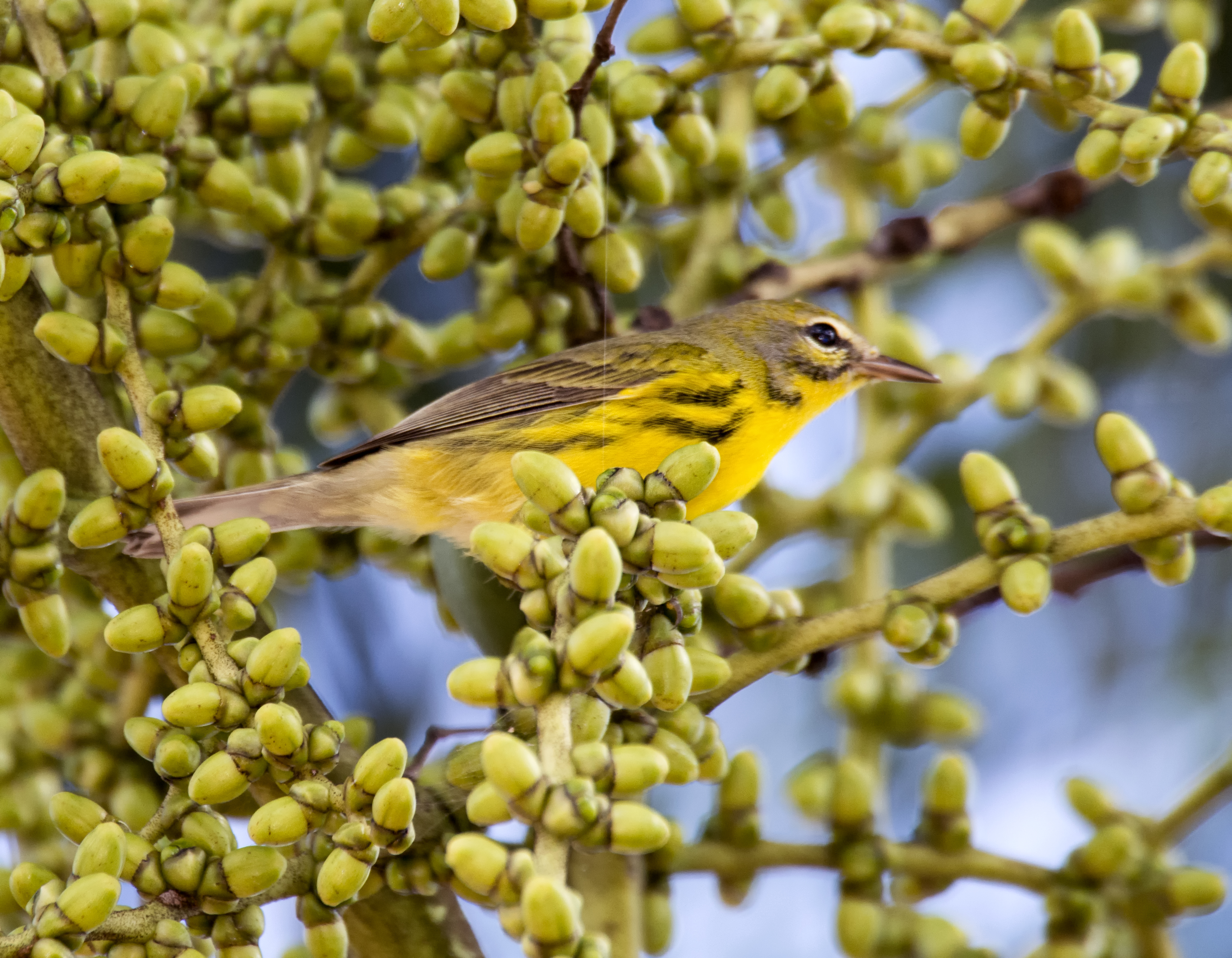 Backyard Birding: Prairie Warbler